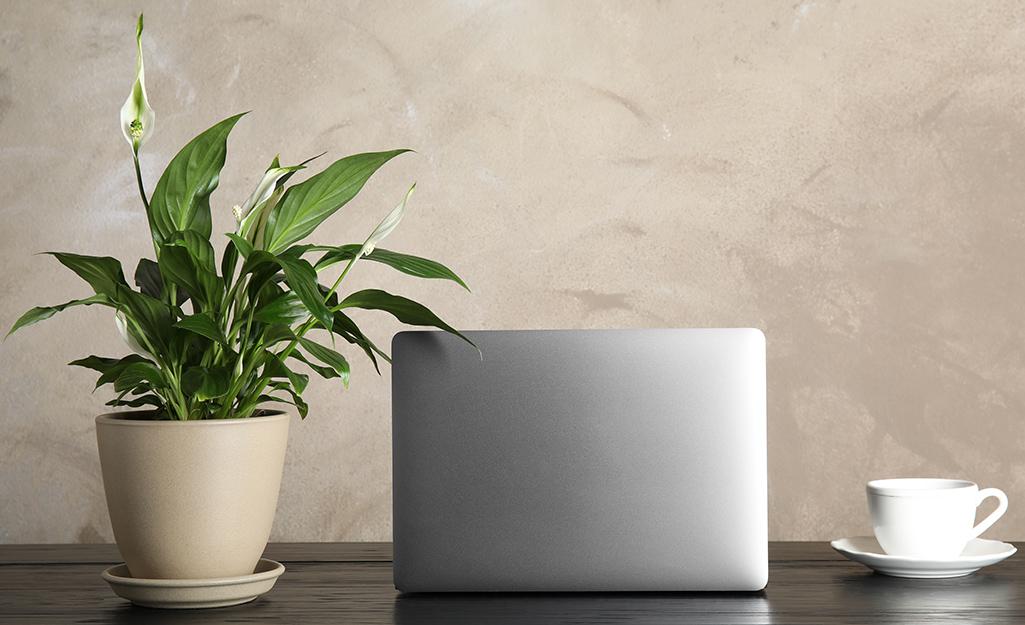 Một chậu hoa huệ hòa bình đang nở rộ ở nơi có ánh sáng yếu ngồi bên cạnh một chiếc máy tính xách tay đang mở và một tách cà phê trên bàn làm việc.
