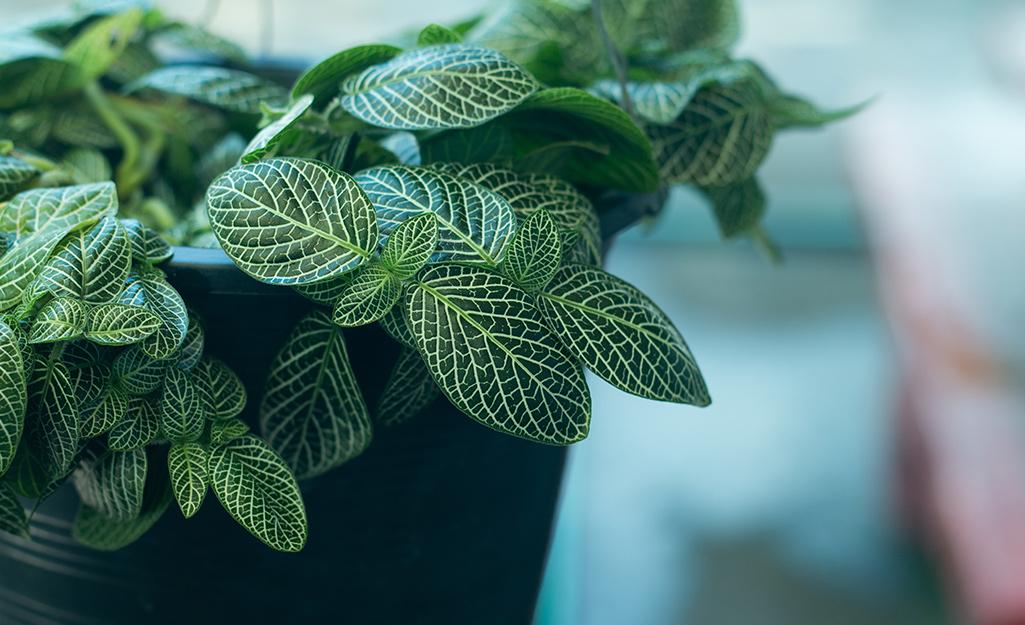 Cận cảnh những chiếc lá có gân của cây Fittonia, hay còn gọi là cây thần kinh, trong chậu màu đen.