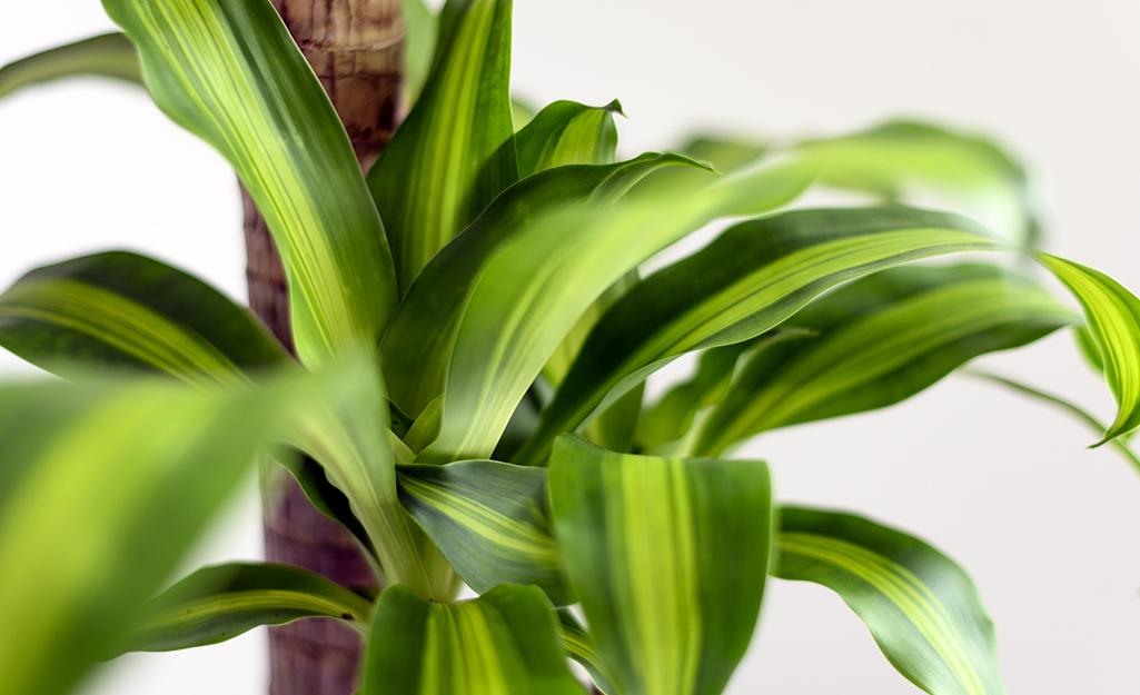 Cận cảnh cây ngô, hay còn gọi là Dracaena aromans, với những chiếc lá sọc xanh lục và hơi vàng.