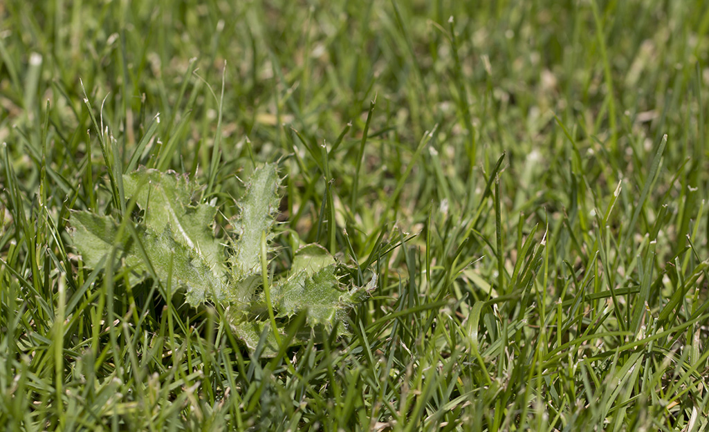 Invasive grab grass grows in a lawn.