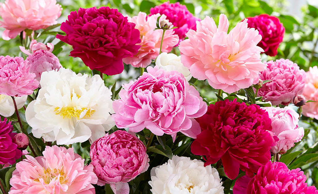 Perennial peony blooms in white and shades of pink and red.