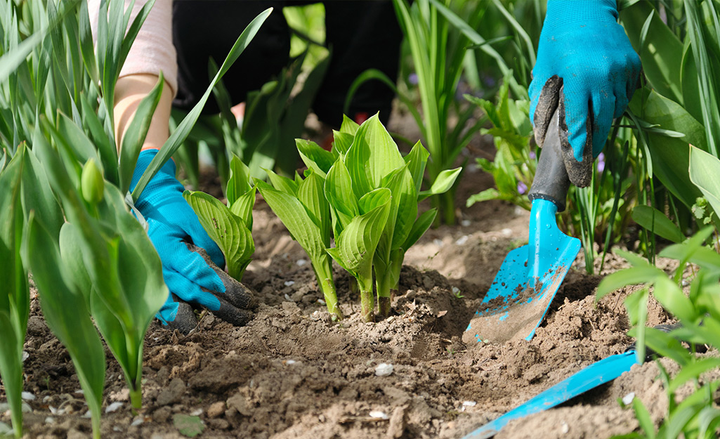 Someone wearing garden gloves and using a trowel to plant perennial hostas in the soil.
