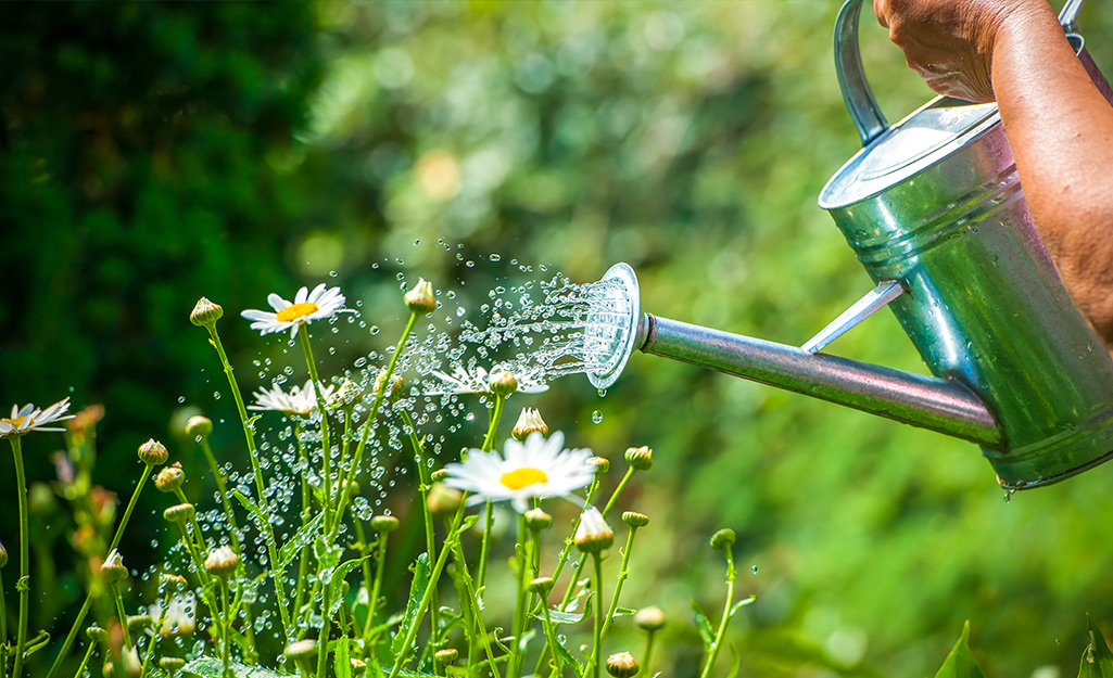 Someone using a watering can to water a bed of white daises with yellow centers.