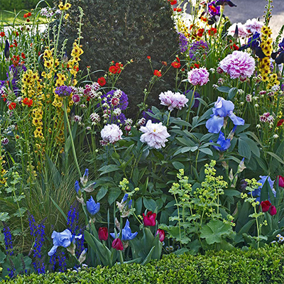 Peonies, iris and other plants growing in a garden bed.