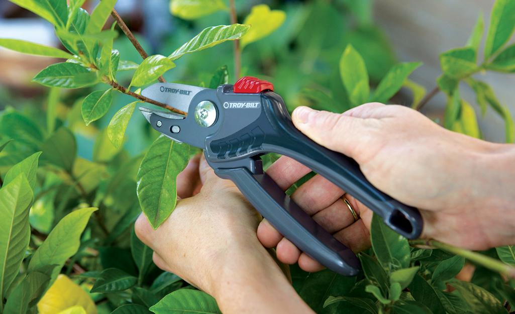 Gardener uses pruners to trim shrubs
