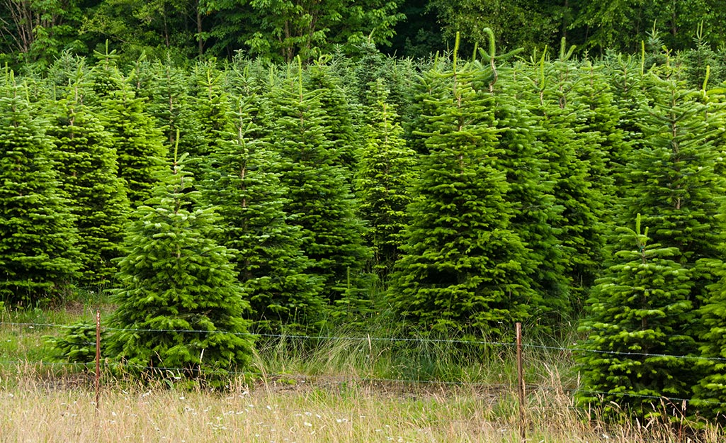 Christmas trees growing in a field.