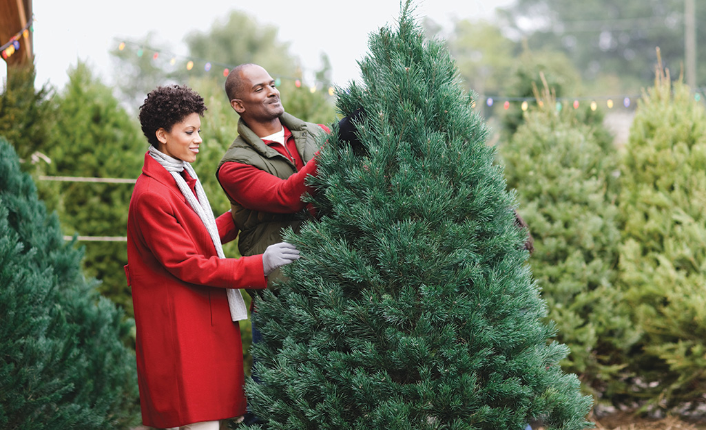 A couple looking at a Scotch pine Christmas tree.