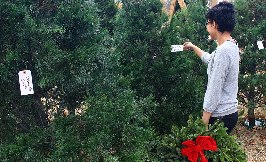 A shopper looking at the tag on a Christmas tree.