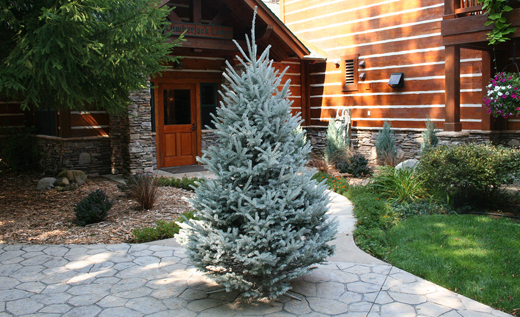 A Black Hills spruce Christmas tree in a driveway.