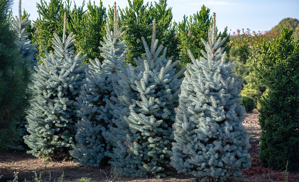 A group of Colorado blue spruce Christmas trees in a field.