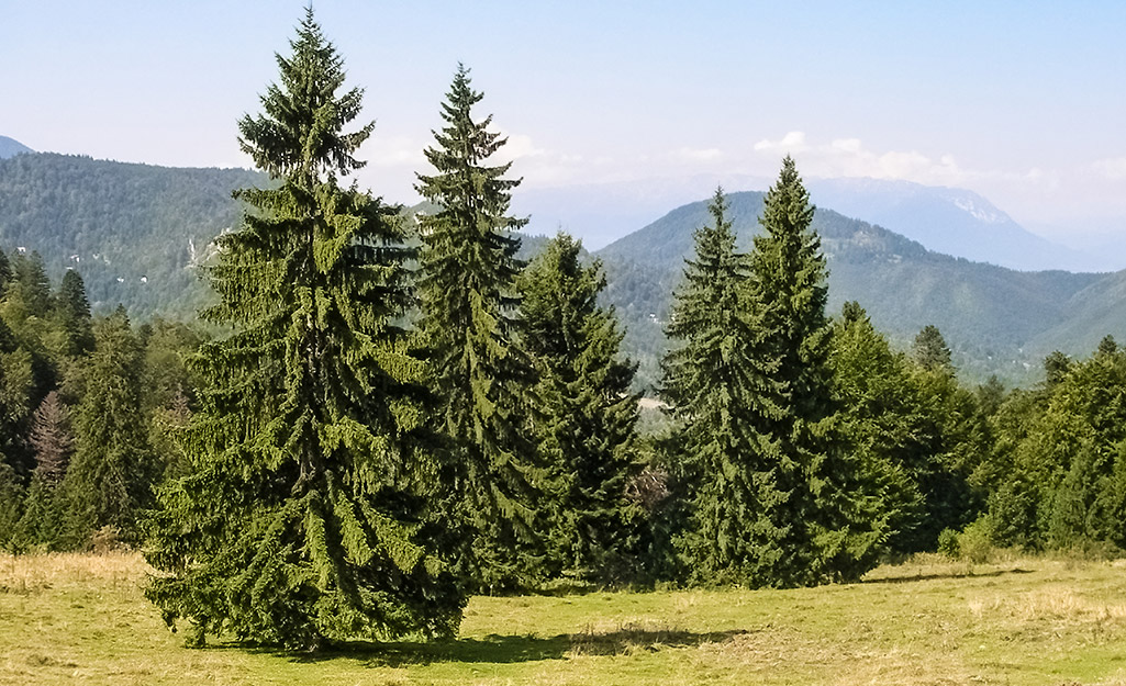 A group of Norway spruce trees growing in a field.