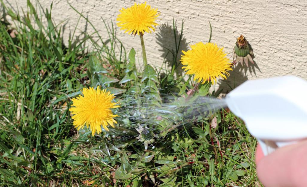 Ai đó phun thuốc diệt cỏ dại lên cây bồ công anh trong bãi cỏ.