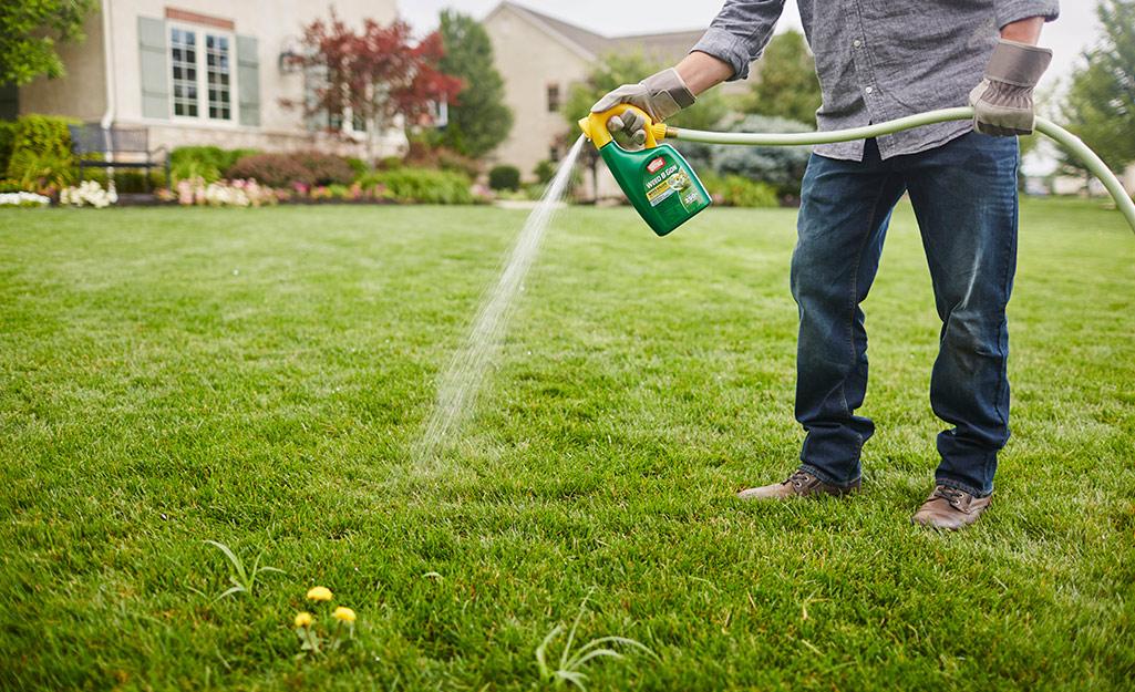 Một người sử dụng một chai thuốc diệt cỏ dại gắn vào vòi vườn để phun cỏ.