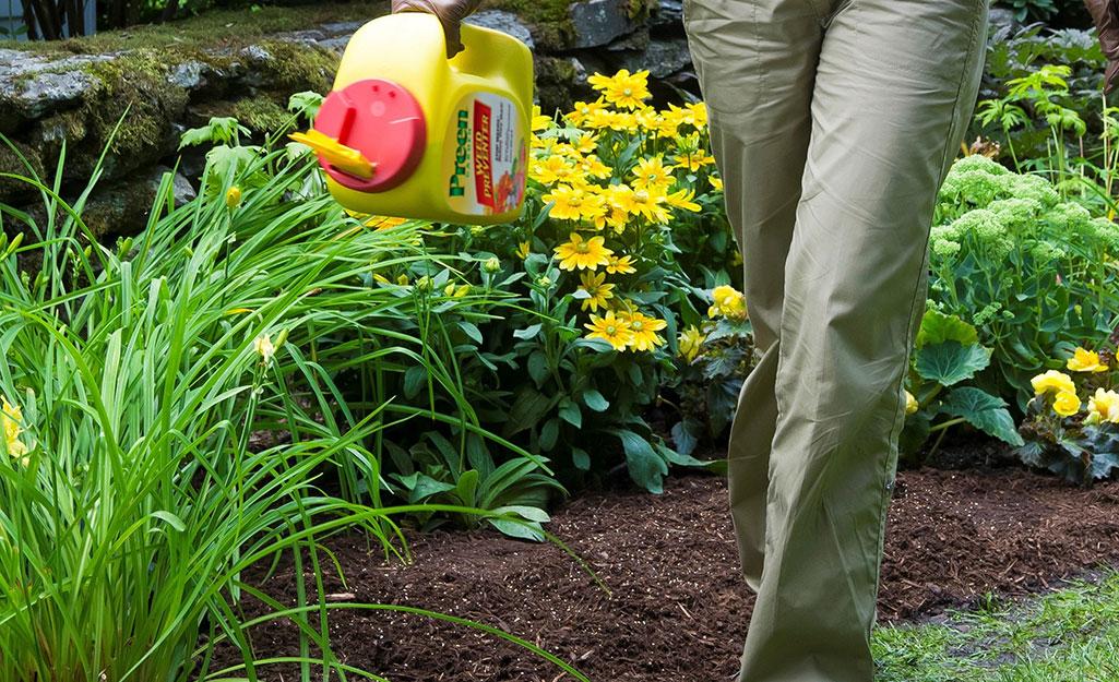 Một người rắc thuốc diệt cỏ dại dạng hạt để diệt cỏ dại trong vườn.