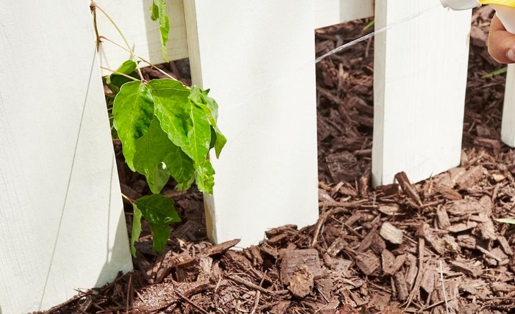 Thuốc diệt cỏ dại được phun lên lá của một loại cỏ dại độc hại mọc qua hàng rào.