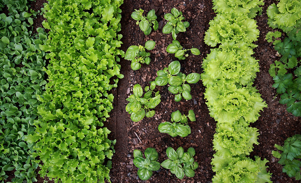 Rows of green vegetables in a garden.