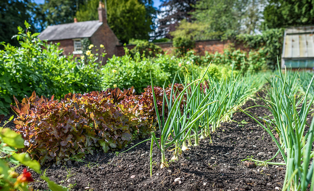 Rows of onions and lettuce in a vegetable garden.