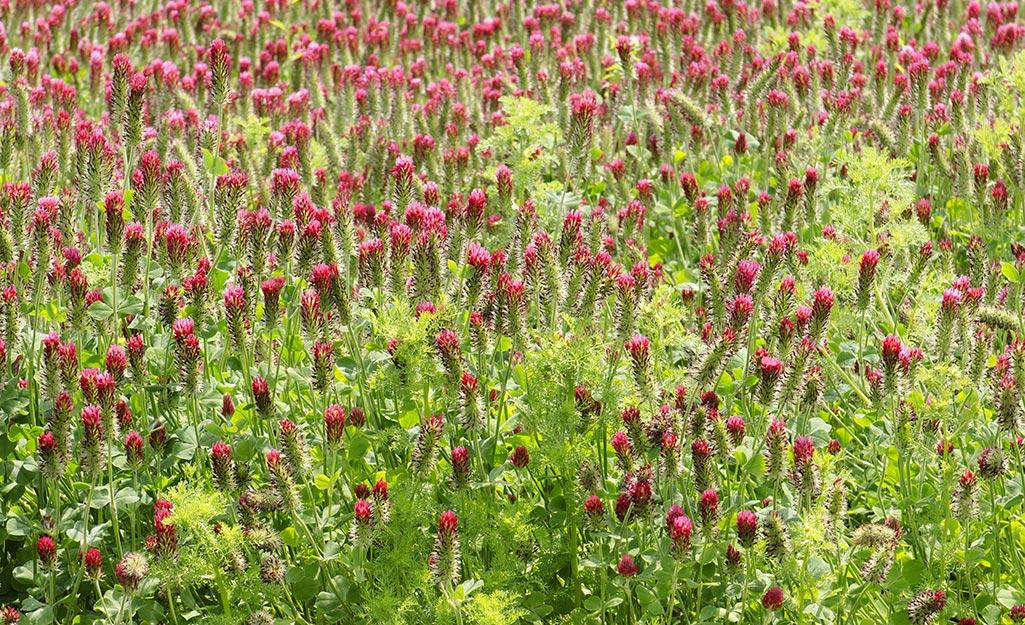 A field of crimson clover.