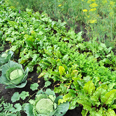 Cabbage and more leafy green vegetables in the garden.