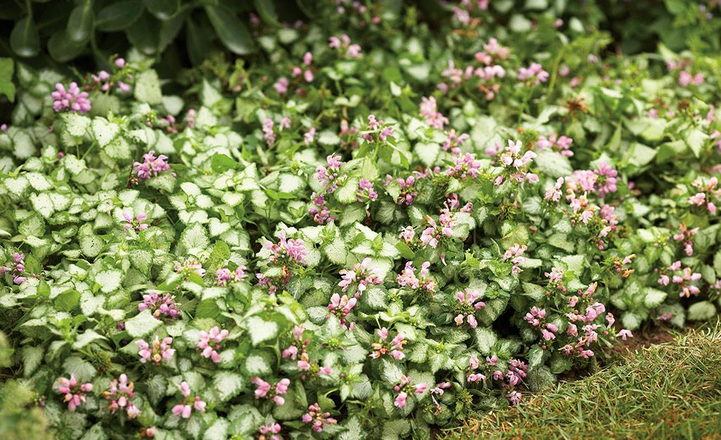 Pink lamium blooms in a garden border