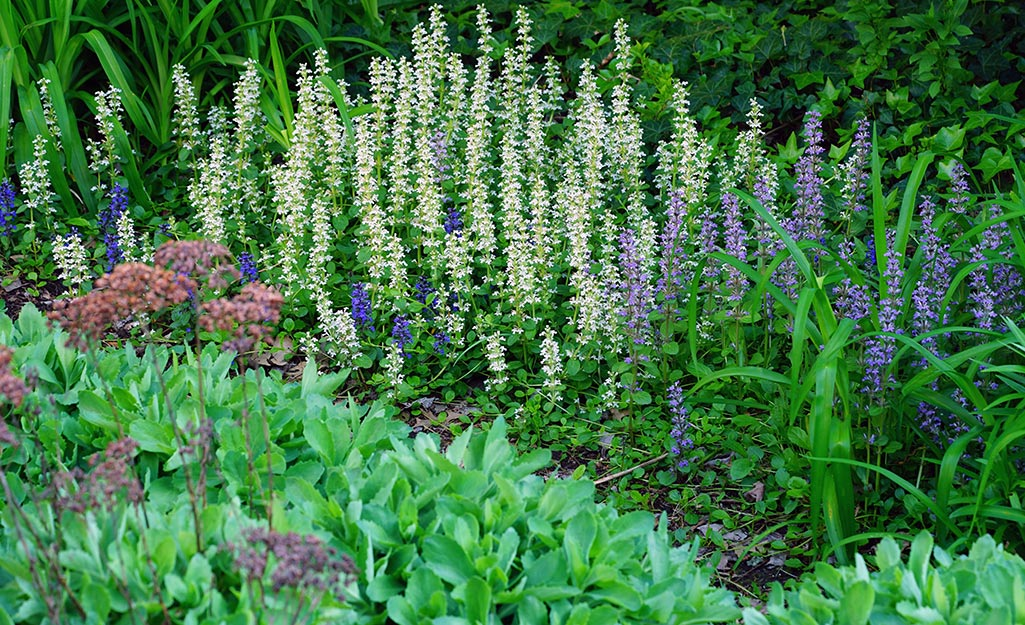 Bugleweed blooms in a colorful garden border