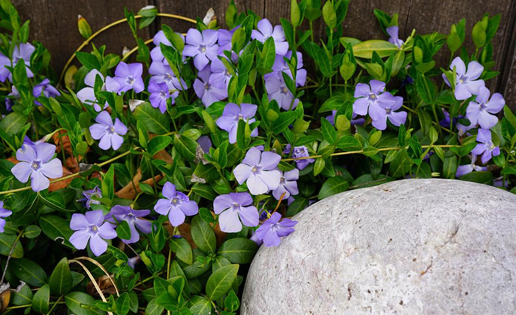 Light purple vinca blooms in a garden