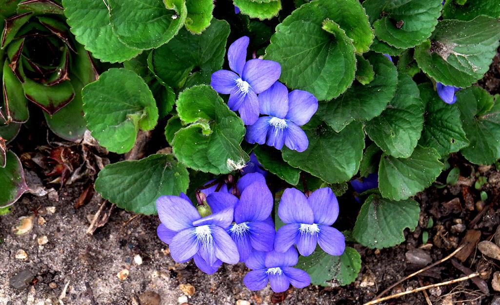 Sweet purple violet blooms