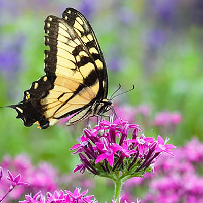 How to Attract Butterflies and Birds