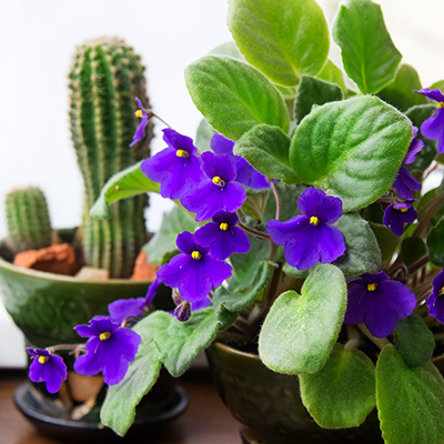 Brighten Winter with Colorful African Violets