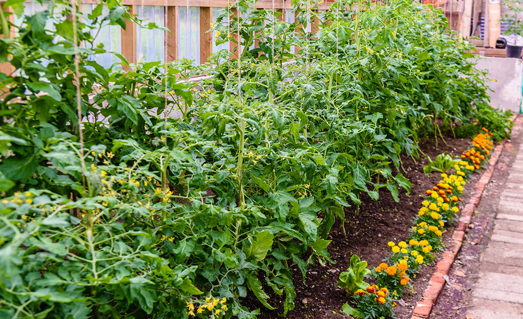 Tomatoes and marigolds in a summer vegetable garden
