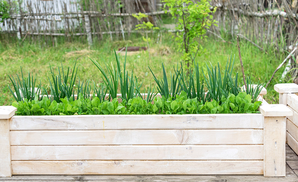 Lettuce and onions in a raised planter box