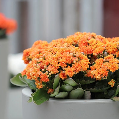 Cure Winter Blues with 5 Houseplants That Bloom