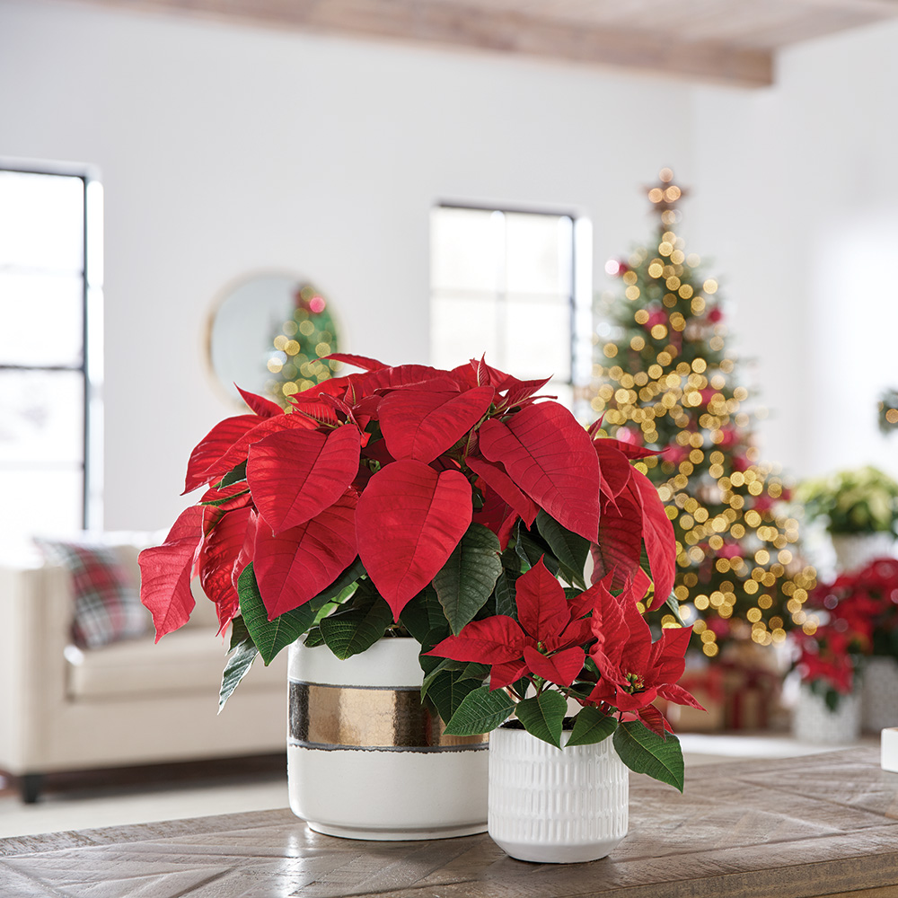 Red poinsettias in a bright room