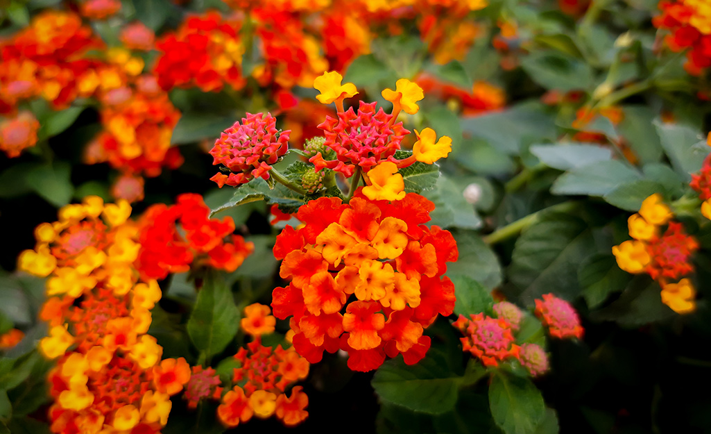 Lantana, Annual of the Year