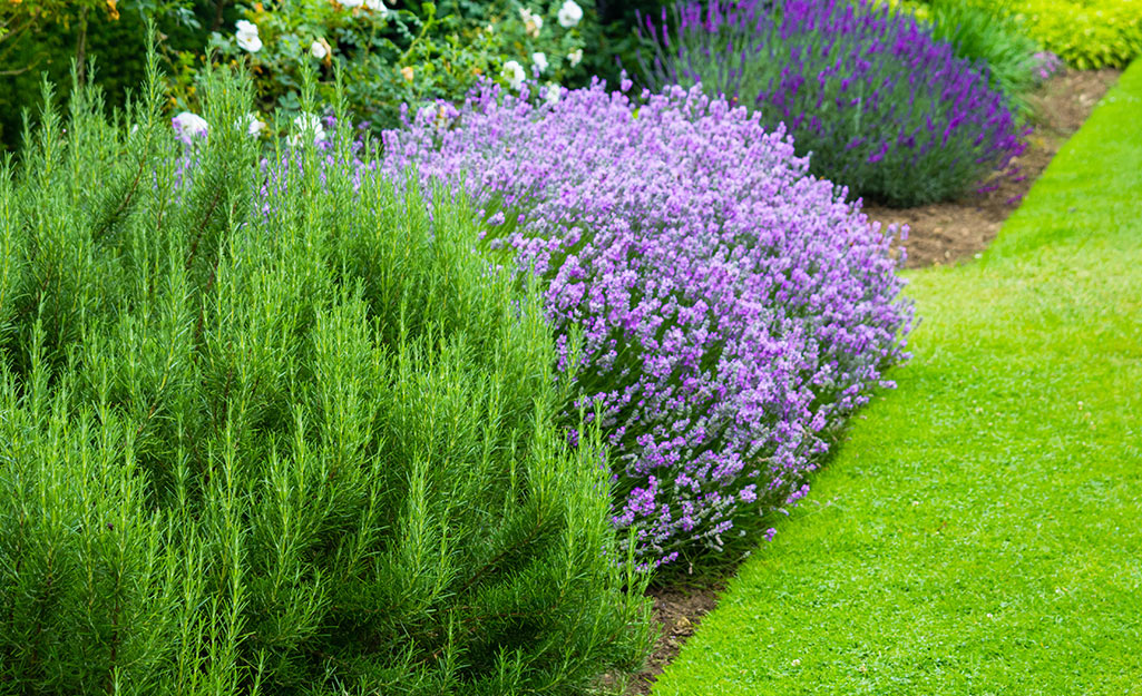 Lavender, Perennial of the Year