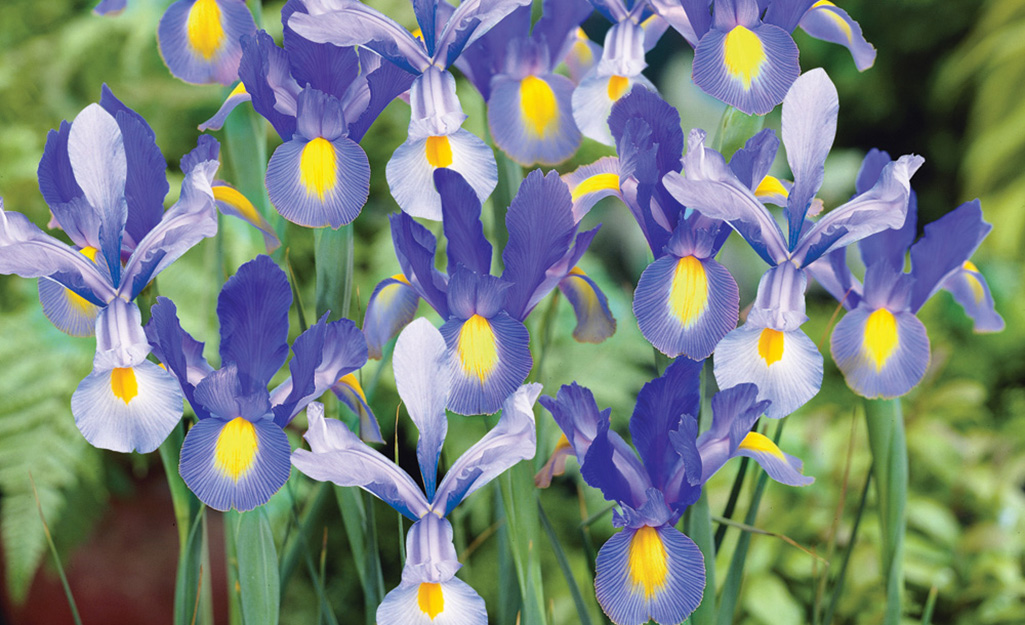 Iris, Bulb of the Year