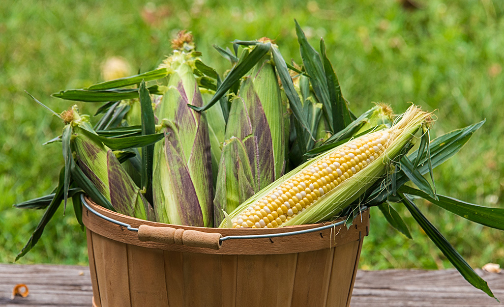 Corn, Vegetable of the Year