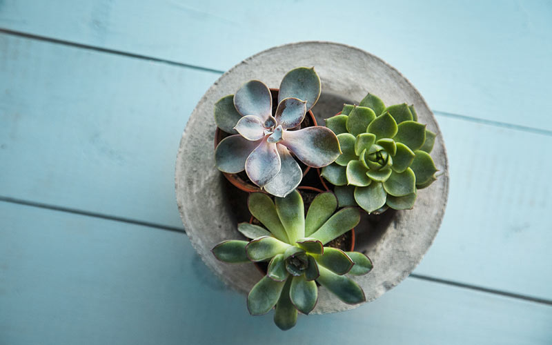 Succulents for Special Occasions