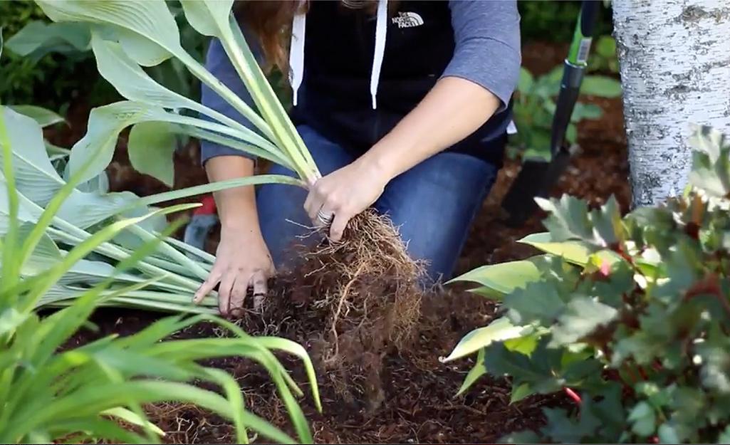 Gardener breaking up the root ball