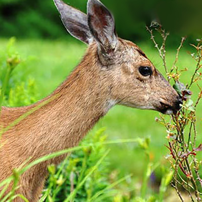Don't Share With Deer and Rabbits. Protect Plants Now