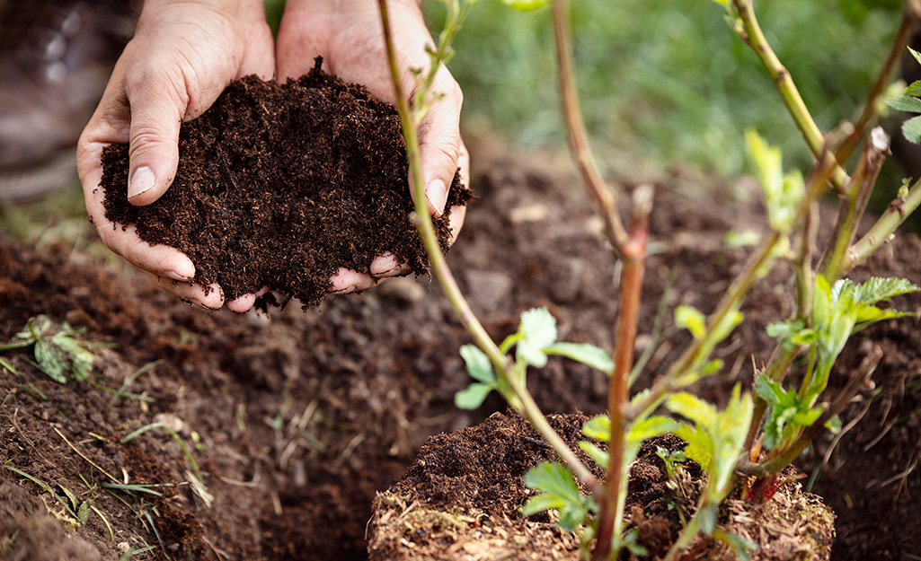 A pair of hands holding mulch and placing it around a newly planted shrub.