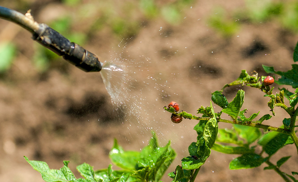 A nozzle spraying insecticide on red bugs on a plant.