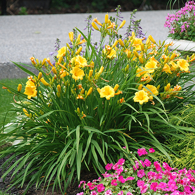 Yellow daylilies with pink impatiens in a sunny flower bed.