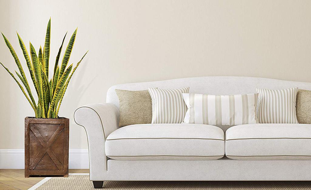 Một cây nhà trồng rắn lớn bên chiếc ghế sofa màu trắng trong phòng.