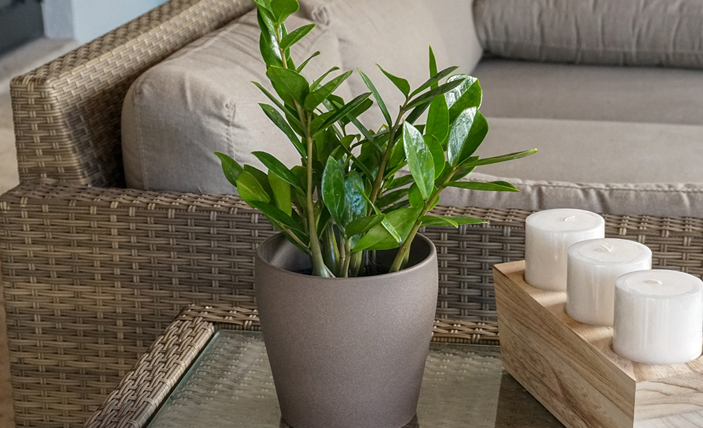 A ZZ plant on a side table.