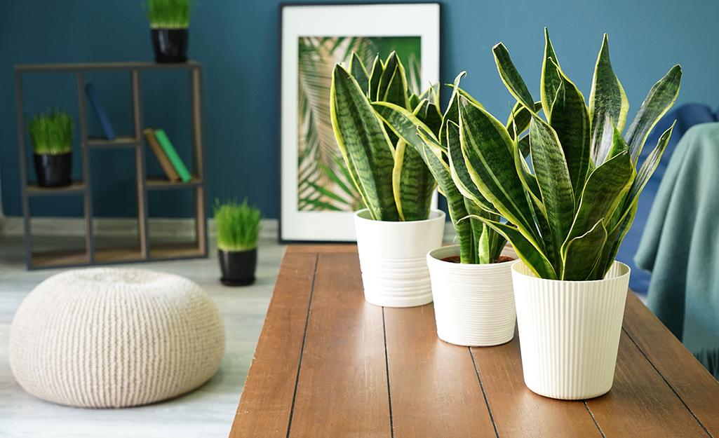 Three Sansevieria plants on a coffee table.