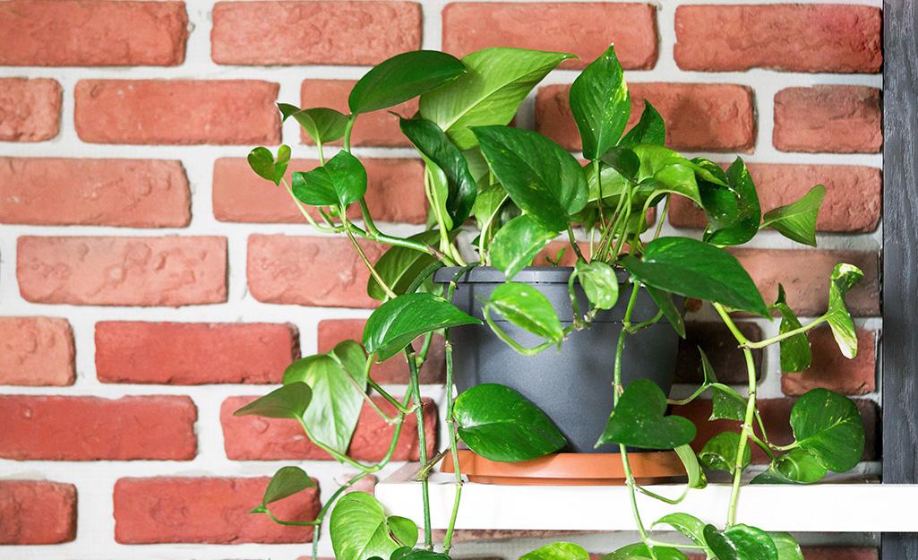 A pothos plant on a table near a brick wall.