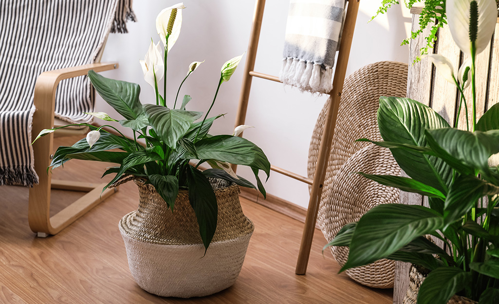 A peace lily potted in a basket.