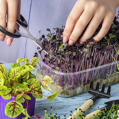 Gardener trims microgreens with scissors