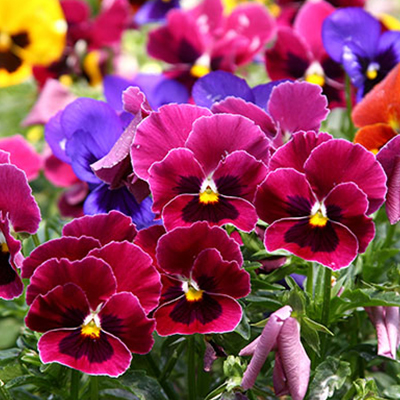 Fall Flowers: Annuals for Your Garden